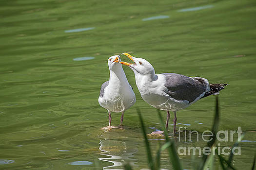 Gulls Courting by Kate Brown