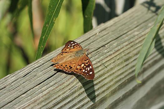 Hackberry Emperor Butterfly by Judy Whitton