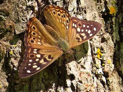 Hackberry Emperor Butterfly by Lori Frisch
