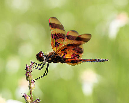 Halloween Pennant Dragonfly by Doris Potter