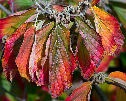 Hamamelis Leaves in Autumn by Pete Hemington