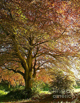 Hampshire Copper Beech by Alex Cassels