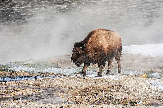 Handsome Young Bison by Sue Smith
