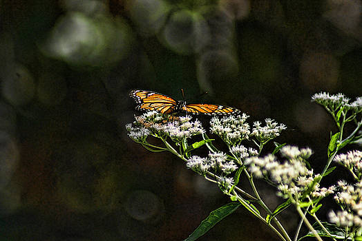 Happy Monarch by Rick Friedle