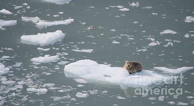 Harbor Seal by Adrienne Franklin