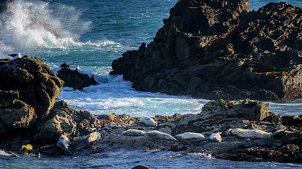 Harbor Seals on the Rocks by Jim Thompson