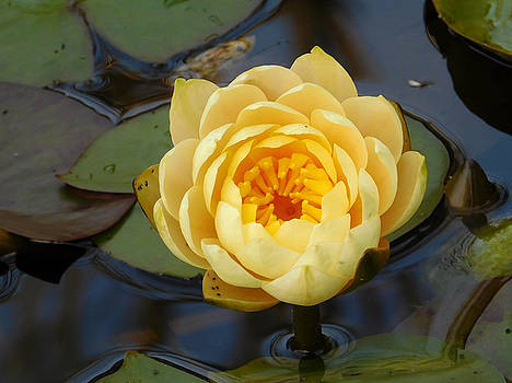 Hardy Water Lily Study 2 by Nancy Spirakus