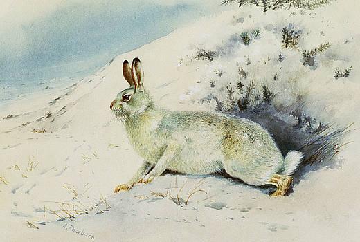 Archibald Thorburn - Hare