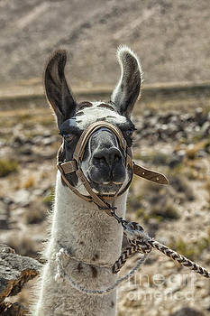 Patricia Hofmeester - Harnessed llama