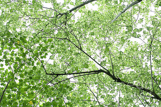 Charmian Vistaunet - Hau Tree Canopy