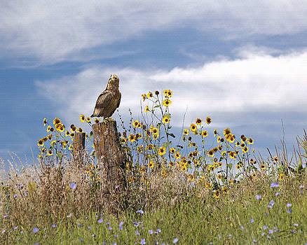 Hawk in Field of Wildflowers by Matthew Schwartz