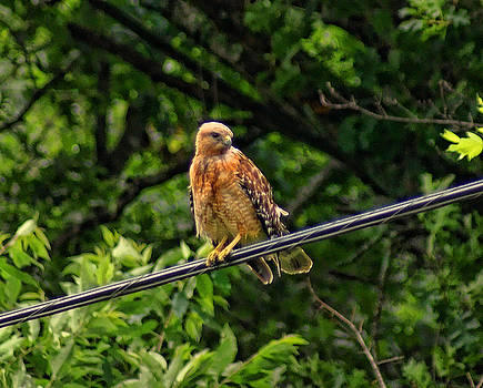 Hawk on a Wire by Rick Friedle