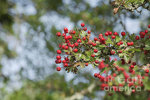 Hawthorn Berries by Terri Waters
