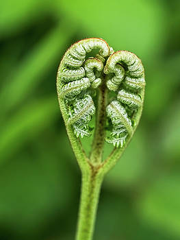 Heart Of A Fern by Susie Peek