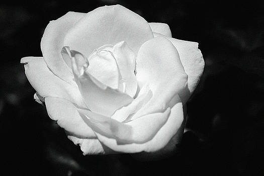 Heart Petal White Rose by Cynthia Guinn