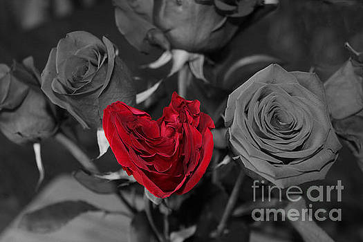 Heart Shaped Red Rose by Kristin Noel