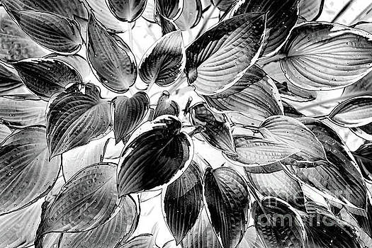 Heavenly Hostas by Arnie Goldstein