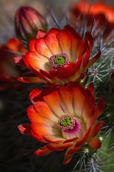 Saija  Lehtonen - Hedgehog Blossoms in the Morning Light