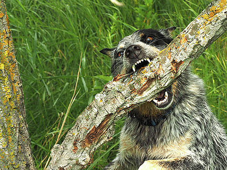 Heeler vs Tree by James Peterson