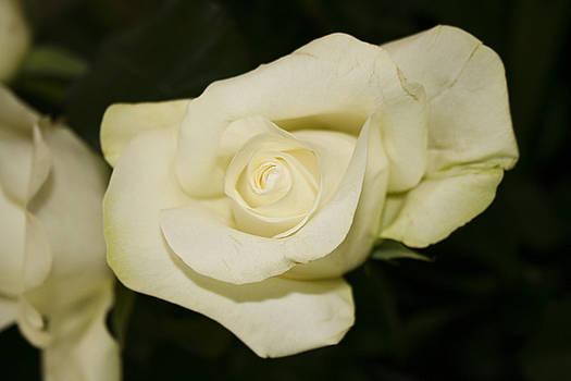 Her White Roses by Nora Blansett