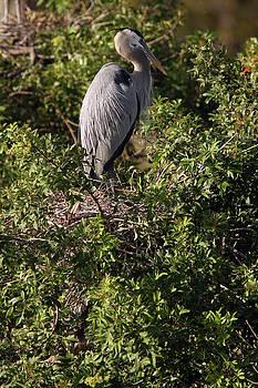 Heron Guard by David Yunker
