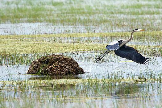 Heron Hut Flight by David Yunker