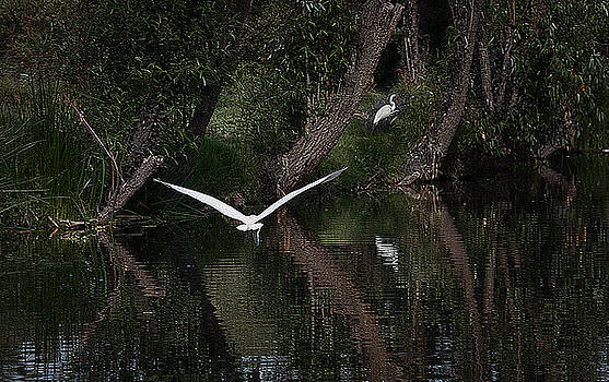 Heron in Flight in Xochimilco by David Resnikoff