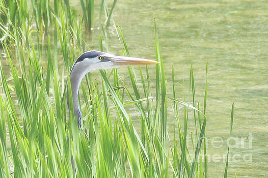 Heron in the Reeds by Anita Oakley
