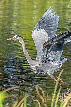 Heron Liftoff by Kate Brown