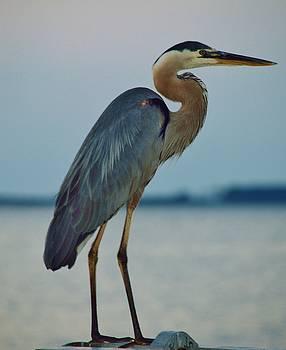 Heron Posing 5 by William Bartholomew