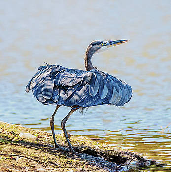 Heron Puffing by Jerry Cahill