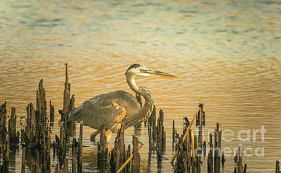 Heron Wading by Robert Frederick