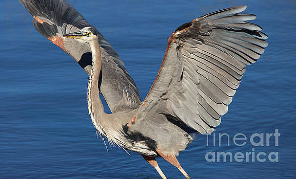 Paulette Thomas - Heron Wings