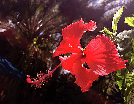 Hibiscus Against Folliage by Tim Stringer