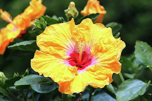 Hibiscus Beauty by Cynthia Guinn