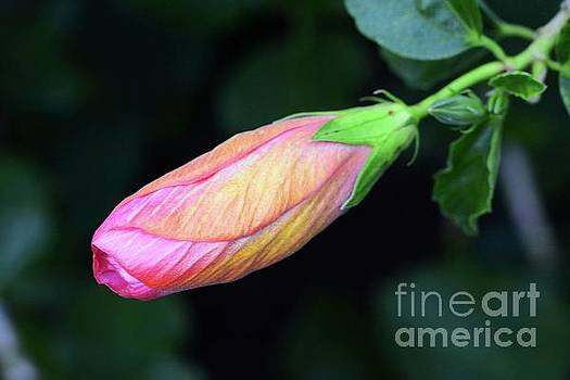 Hibiscus Bud by Cindy Manero