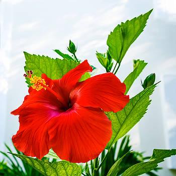 Hibiscus Closeup by Andrew Kazmierski