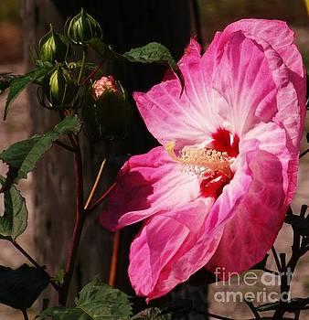 Hibiscus  by J L Zarek