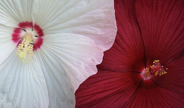Hibiscus by Joan Powell