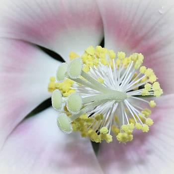 Hibiscus by Tammy Schneider