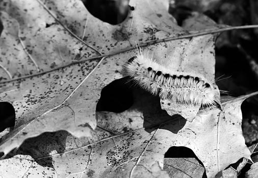 Hickory Tussock Caterpillar in Black and White by Tracy Winter