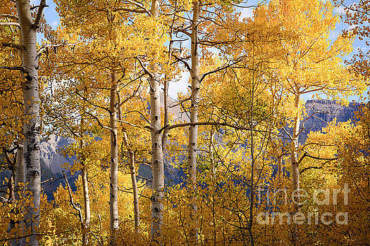 High Mountain Aspens by The Forests Edge Photography - Diane Sandoval