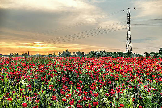 High Voltage Poppy Flowers by Odon Czintos