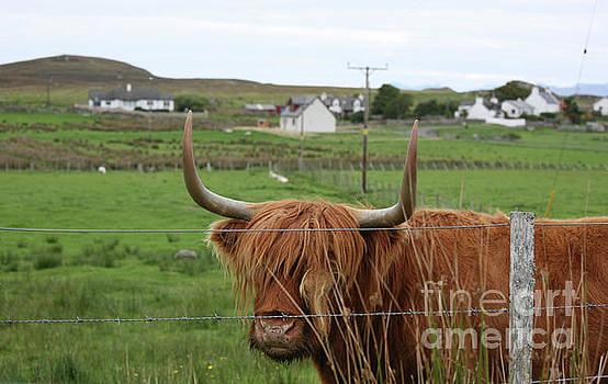 Chuck Kuhn - Highland Cattle