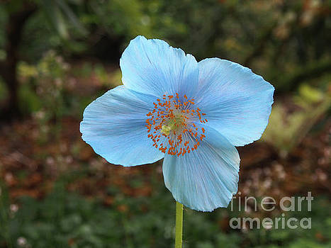 Himalayan Blue Poppy by Jacklyn Duryea Fraizer
