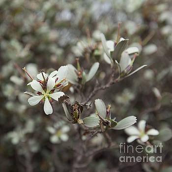 Charmian Vistaunet - Hinahina Native Hawaiian Flower