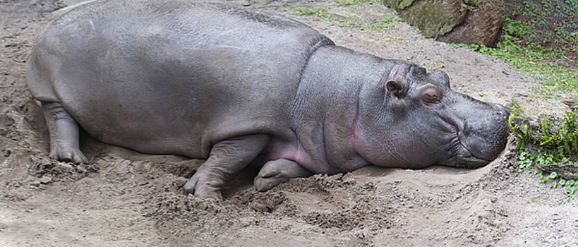 Hippopotamus Relaxing by Tito Santiago