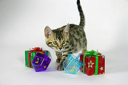 Holiday Bengal by Shoal Hollingsworth