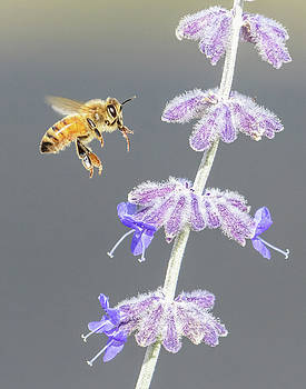 Honey Bee scouting the Russian Sage by Lois Lake