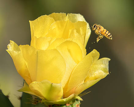 Honey Bee with Drops of Pollen by Lois Lake